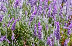 Scene with lavender in full bloom at sunrise stock photo