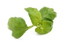 Stem of fresh basil leaves Stock Photography