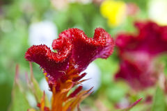 Stem of fuzzy wavy Celosia Royalty Free Stock Photos