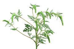 Stem green ambrosia Stock Photo