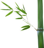 Stem with green isolated bamboo branch Royalty Free Stock Image