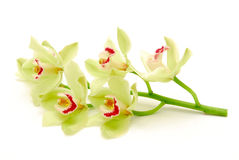 Stem of green orchids Royalty Free Stock Photo