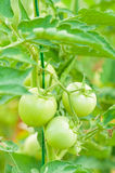 Stem with green unripe tomatoes as eco farming concept Stock Photography