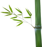 Stem with isolated green bamboo branch Stock Image
