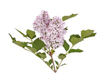 Stem with light purple lilac flowers isolated against white Stock Photo