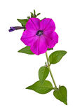 Stem with a magenta Petunia flower isolated on white. Single stem with a bright-magenta flower and developing bud of petunias Petunia hybrida isolated against a Royalty Free Stock Photos