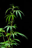 Stem of marijuana. Green stem of marijuana on black background Stock Photos