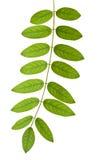 Stem med gröna leaves fotografering för bildbyråer