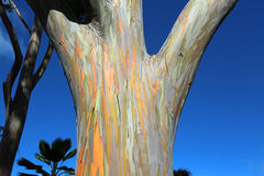 Stem of Mindanao Gum tree Royalty Free Stock Photo