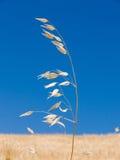 Stem of oat Royalty Free Stock Photo