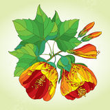 Stem with orange Abutilon flower, leaf and bud on the light green background. Floral elements in contour style Royalty Free Stock Photography