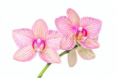 Stem orchid with bright flowers Royalty Free Stock Images