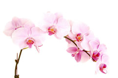 Stem of orchids. Stock Photography