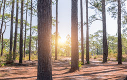 Stem pine tree in pine forest with sunrise. Stem pine tree in pine forest with sun light Stock Image
