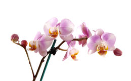 Stem of pink orchid. Stock Photography