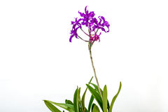 Stem of Purple Fowers on Hybrid Orchid Royalty Free Stock Photos