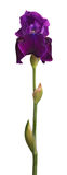 Stem and purple iris flower isolated on white Stock Photo