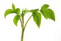 Stem of raspberry with green fresh leaves on a white isolated background_ stock image