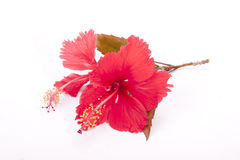Stem of Red Hibiscus Flowers with Autumn Colored Leaves Stock Photos