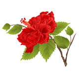 Stem red hibiscus tropical flower on a white background vintage vector Stock Photos
