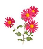 Stem with a several red and yellow flowers of hardy chrysanthemu. Stem with several red and yellow flowers of the hardy chrysanthemum Chrysanthemum rubellum Royalty Free Stock Photo