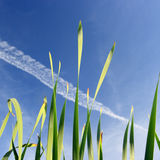 Stem and sky. Stem of cane and blue sky Stock Photography