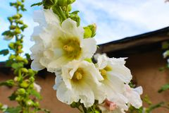 Southwestern White hollyhocks in front of adobe building and blue sky royalty free stock images