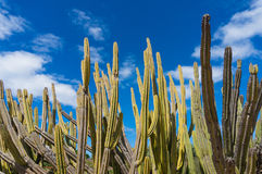 Stem succulents, calm cactus and blue sky with. Cacti, large cactus with blue sky and copy space Stock Photos