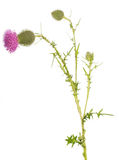 The stem thistle bud and blossoming flower isolated on white. Stock Images