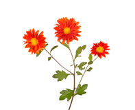 Stem with three orange flowers of hardy chrysanthemum isolated Stock Images