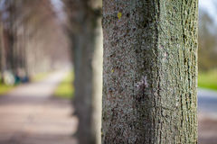Stem of a tree in an avenue. Main stem of a tree in an avenue royalty free stock images