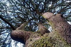 Stem of tree with branches. Upward view Royalty Free Stock Photo