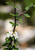 A stem with two white flowers Royalty Free Stock Images