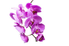 Stem of violet colored orchids on white background Royalty Free Stock Images