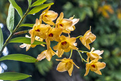 Stem of Yellow Dendrobium Orchid Flowers Covered in Raindrops Stock Photography