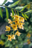 Stem of Yellow Dendrobium Orchid Flowers Covered in Raindrops Stock Photos