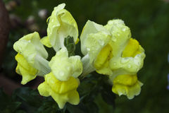 Stem of yellow snapdragons Royalty Free Stock Photo