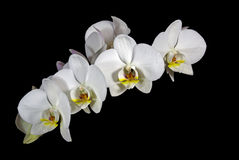 Stem of Yellow and White Phalaenopsis Orchid Flowe Stock Photos