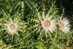 Stemless Carline Thistle Stock Photography