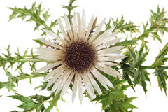 Stemless carline Thistle Stock Images