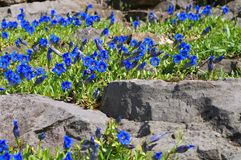 Stemless gentian or Gentiana acaulis. Blue stemless gentian or Gentiana acaulis flower in spring in rockery stock photos