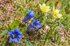 Stemless Gentian Gentiana acaulis and Narcissi Anemone narcis. Siflora on the Alpe di Siusi, South Tyrol, Italy stock photography