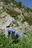 Stemless gentian. Gentiana acaulis, in Pyrenees stock photo