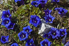 Stemless Gentian. Many blossoms of a stem less gentian on a mountain meadow royalty free stock images