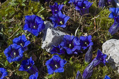 Stemless Gentian. Many blossoms of a stem less gentian on a mountain meadow stock photography