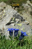 Stemless gentian. In Pyrenees , gentiana acaulis stock images