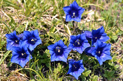 Stemless gentians in the french Alps Stock Images