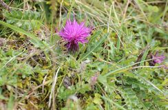 Stemless thistle (Cirsium acaule) on the grass.  stock images