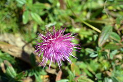 Stemless Thistle  in summer day Stock Photo