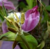 Stempel einer verwelkten Tulpe Lizenzfreie Stockfotos